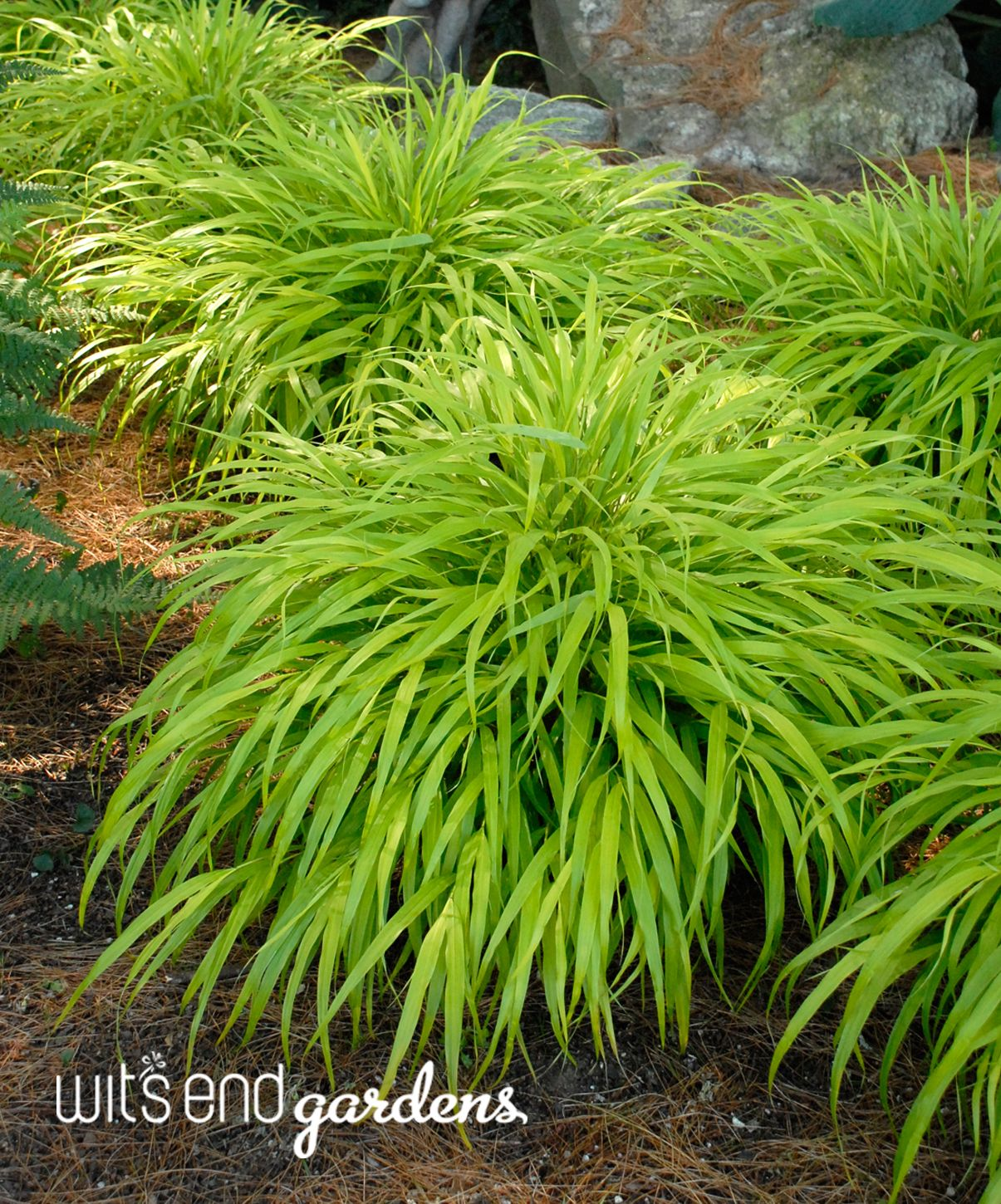 hakonechloa all gold vibrant gold green color for shade or part
