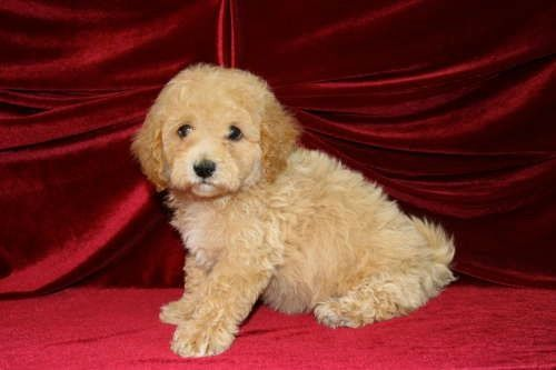 Bichapoo puppies for sale boca raton Hypoallergenic medium size dog breed Very playful, smart, great with kids See more at puppyplusinc.com