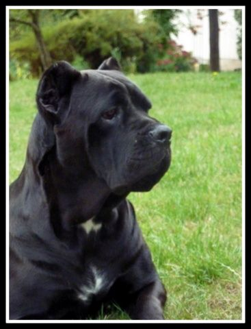 Bohemia Abby Bohemia Cane Corso Cane Corso Cane Corso Kennel Cane Corso Puppies