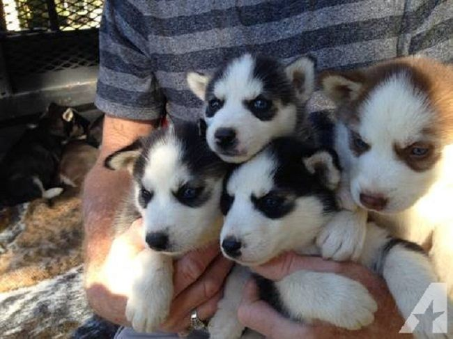 Siberian Husky Puppies For Sale In Houston Cute Puppies Husky