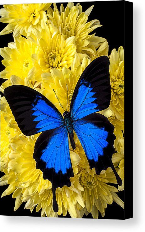 Blue butterfly on poms Canvas Print / Canvas Art by Garry Gay