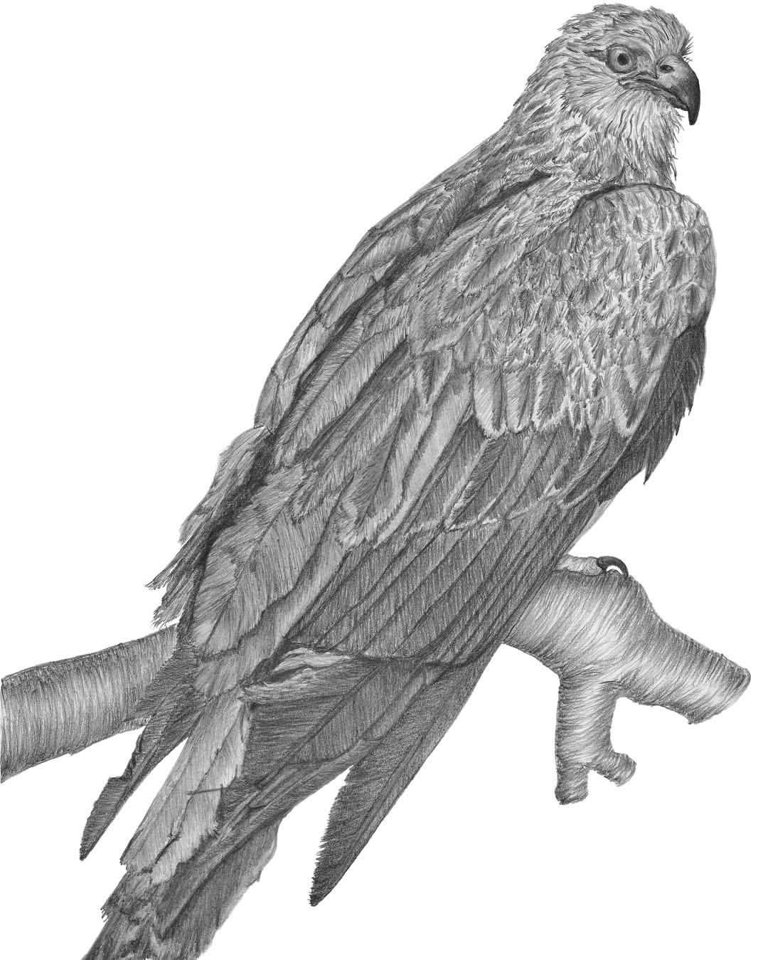 Red Kite. #graphitepencil #naturedrawing #art #pencildrawing #drawing #bird #red-kite # ...
