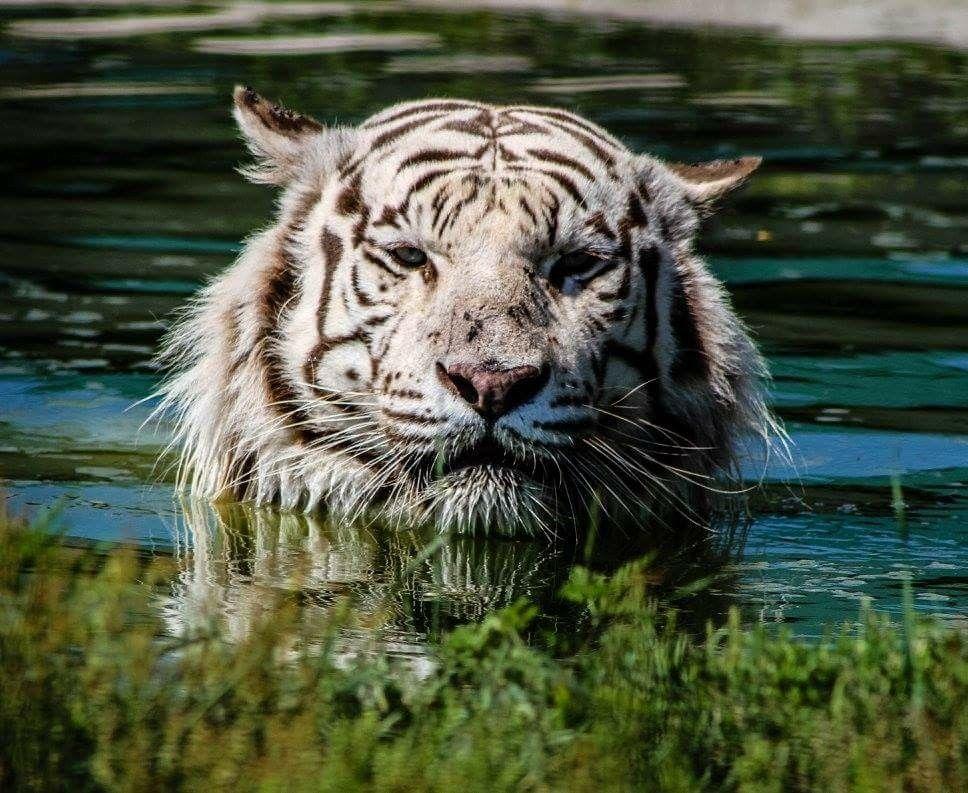 White tiger at safari north brainerd mn Wild cats, Big cats
