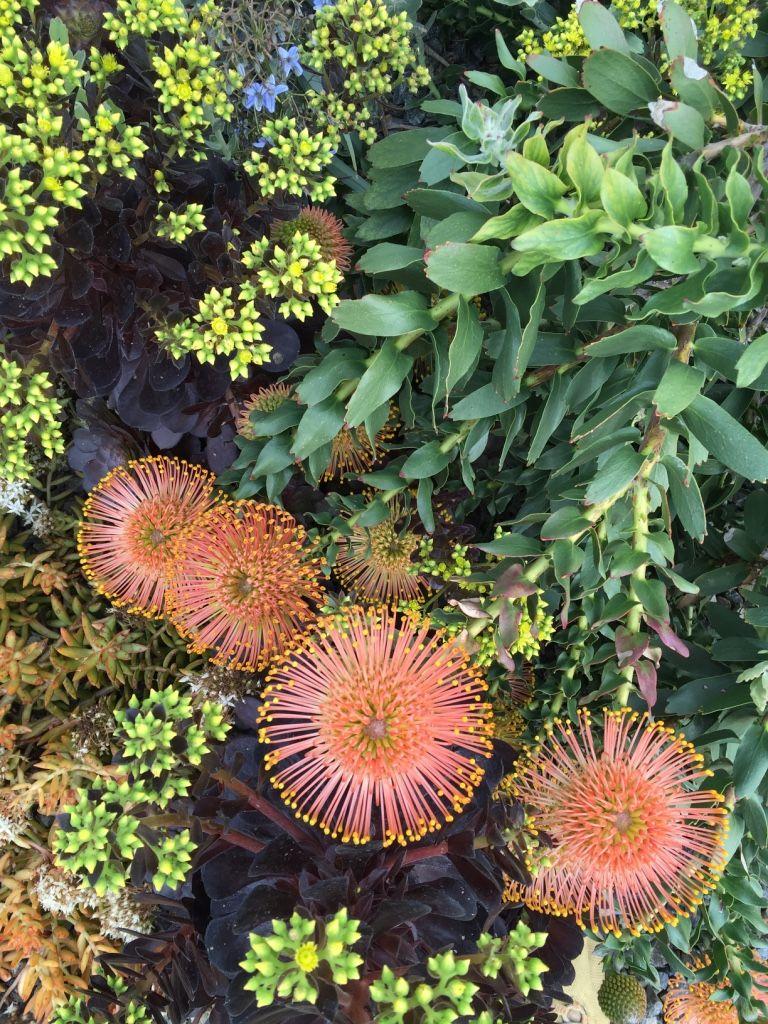 Leucospermum cordifolium 'Flame Giant' Australian