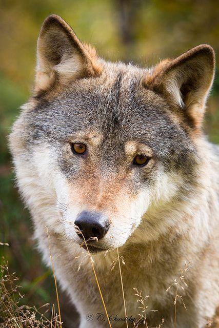 Scandinavian Grey Wolf Ii By Nemi1968 On Flickr Wolf Dog Wolf Love Grey Wolf