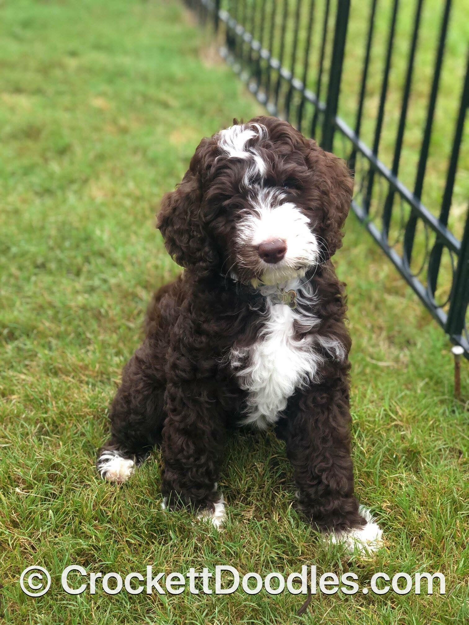 Chocolate and white tuxedo Springerdoodle | Springerdoodle