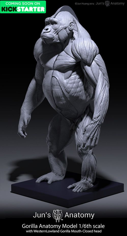 ArtStation - Gorilla Anatomy Models, Jun Huang | Animal Reference of ...