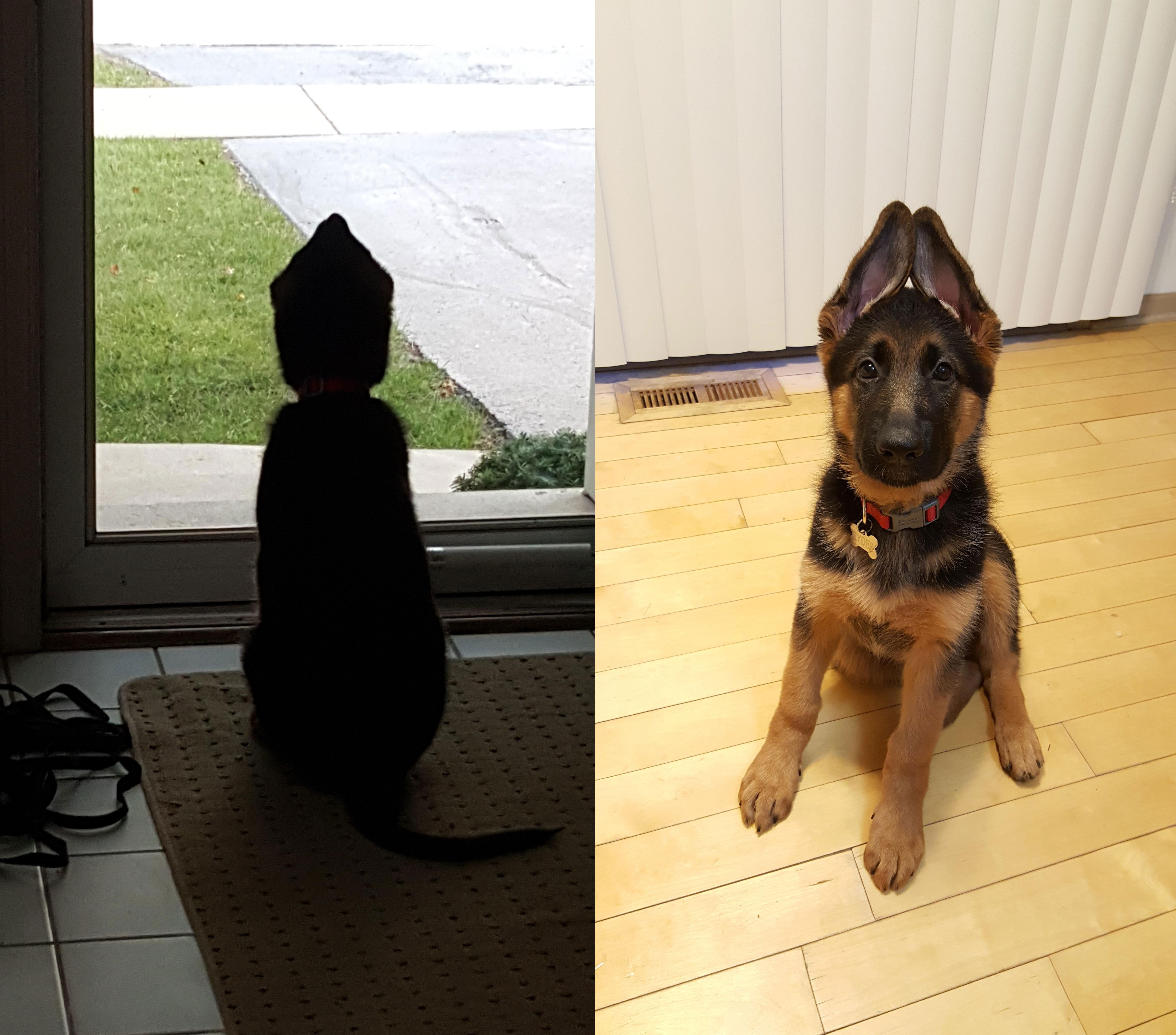 From Peychevshepherds Puppy Ear Stages The Ups Dogs