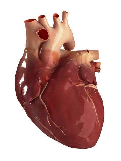 сердце человеческое фото