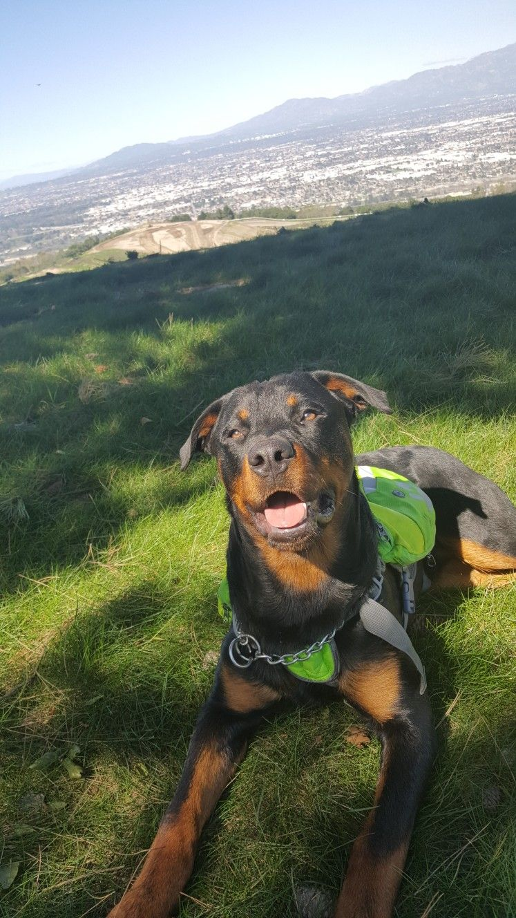 My sweetheart rottweiler puppy love puppies