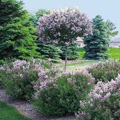 Fragrant Persian Lilac Garden Lori S Garden Vegetable Garden Planner Garden Design Vegetable Garden
