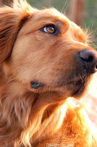 Sami24 By Troy Snow On Flickr Dogs Golden Retriever Dogs