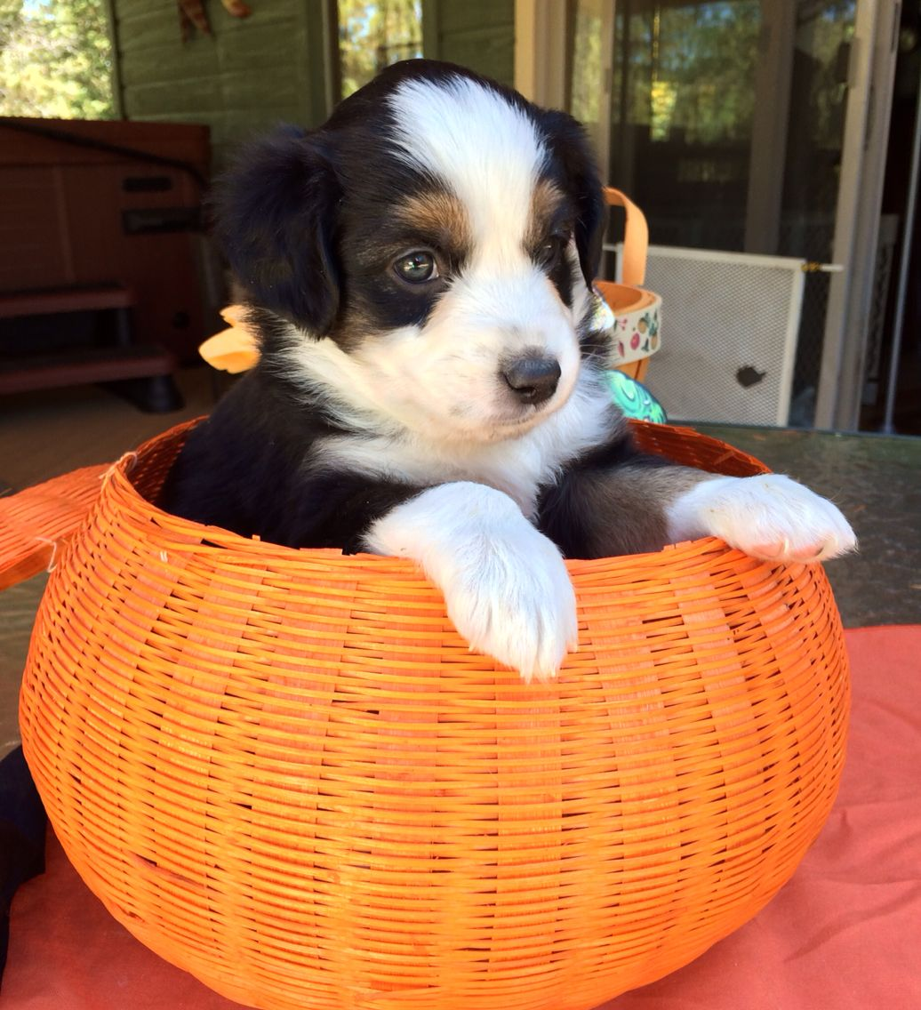 5 weeks Black tri male 850 Miniature australian shepherd