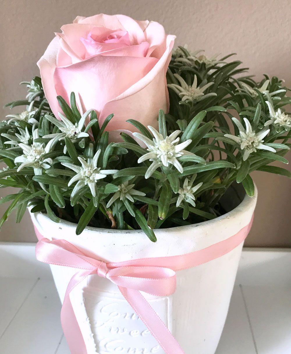 Geschenk & Idee Alpenedelweiss und Rose im schicken Töpfchen