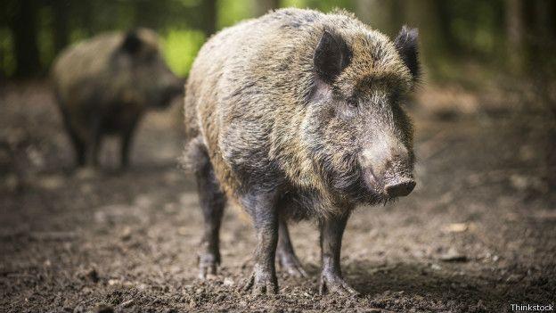 Los jabalíes del estado alemán de Sajonia muestran niveles altos de radioactividad. Los jabalíes que merodean en los bosques del este de Alemania son considerados una exquisitez, lo que los convierte en presa de caza.