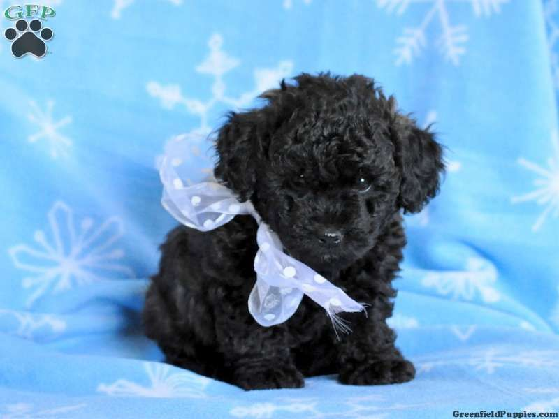 Riah Toy Poodle For Sale From Ronks Pa Toy Poodles For Sale