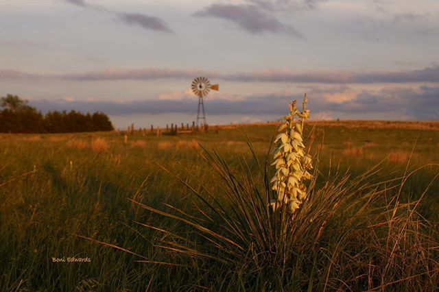 Windmill and Yucca in bloom near North Platte by local photographer Boni Edwards #WindmillWednesday #NorthPlatte #VisitNP #Nebraska #Sandhills