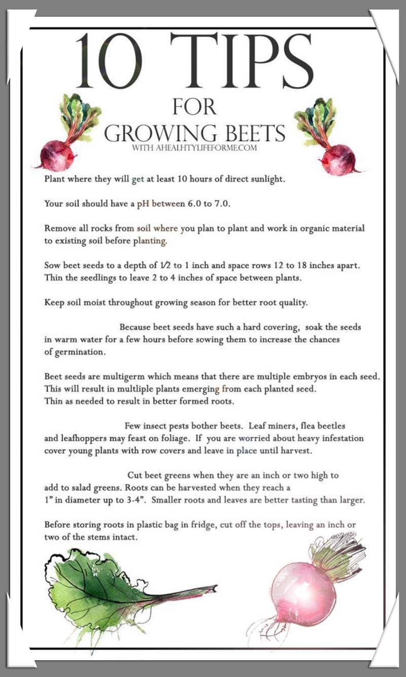 How To Successfully Grow A Healthy Organic Garden Click Image To Read More Details Growing Beets Container Gardening Vegetables Beets