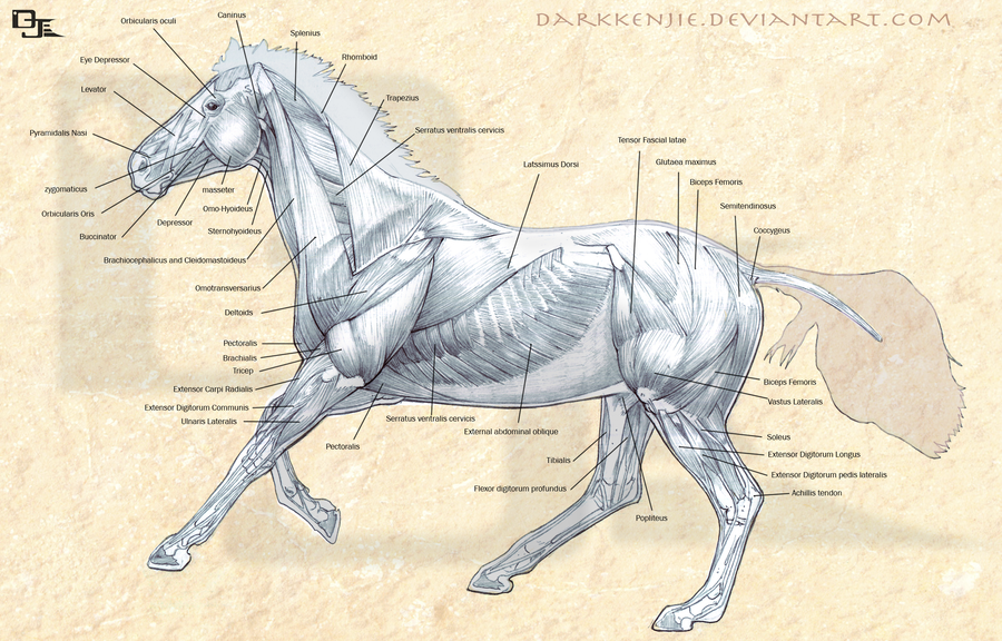 horse anatomy muscles and tendons - Saferbrowser Yahoo Image Search ...
