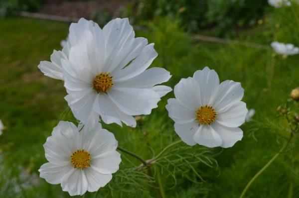Organic Flower Cosmos White Cosmea Hha In 2020 Cosmos Flowers Garden