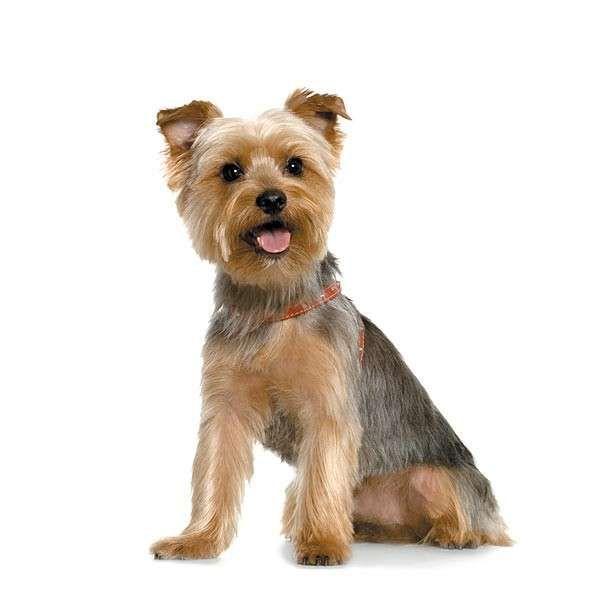 Yorkie Hairstyles Yorkshire terrier grooming, Yorkie puppy