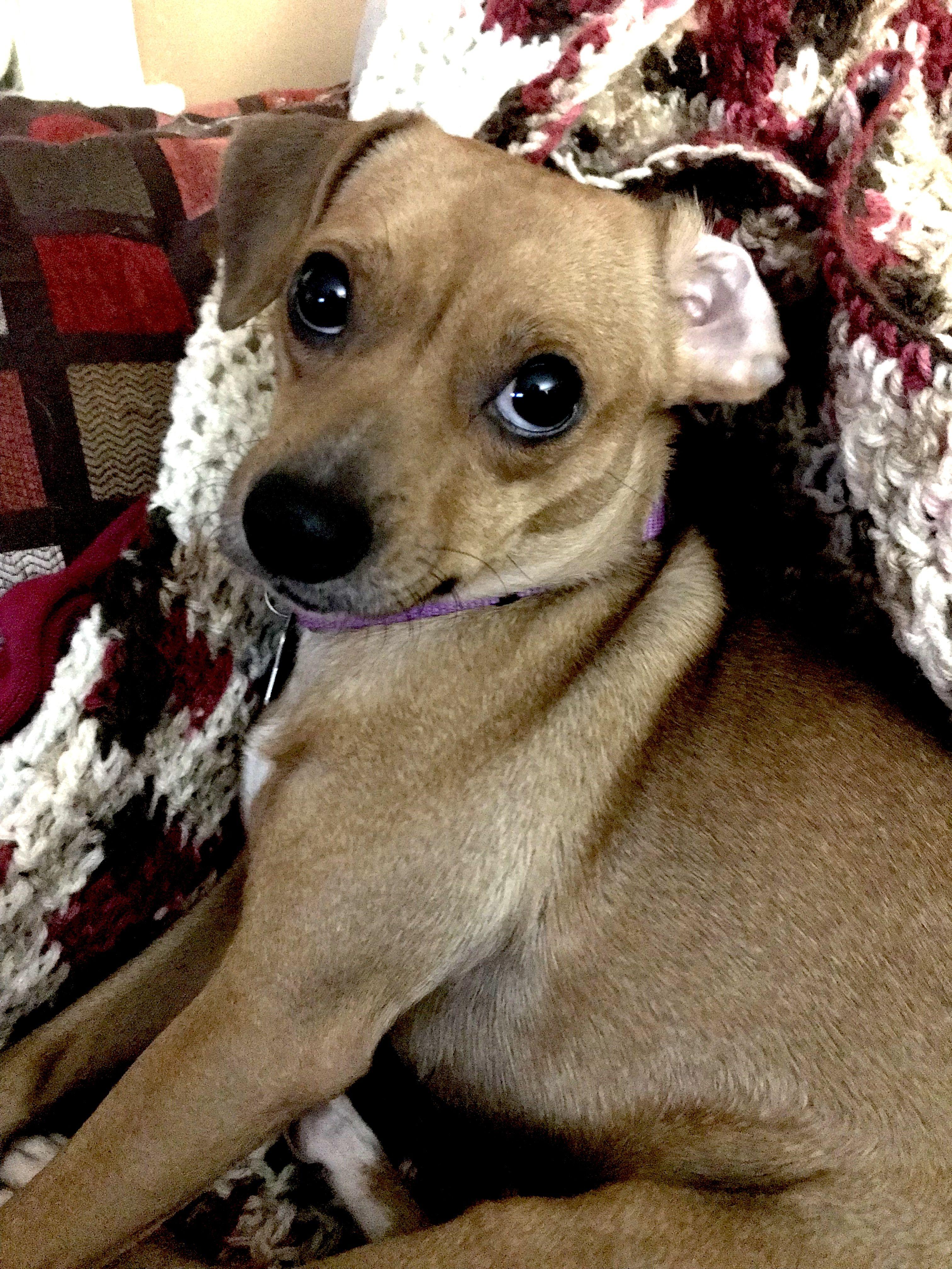 Boxer dog for Adoption in Lake Ann, MI. ADN656640 on