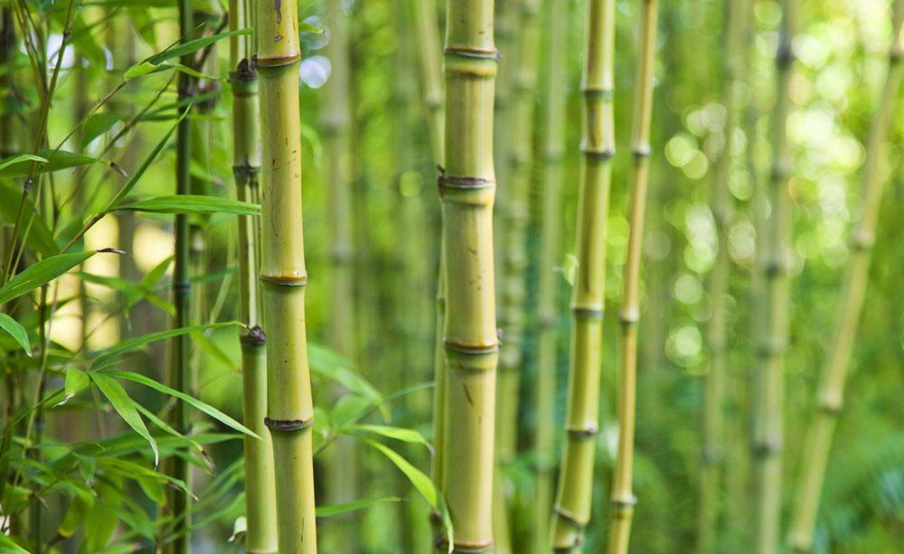 Bambus: Hoch wachsendes Riesengras