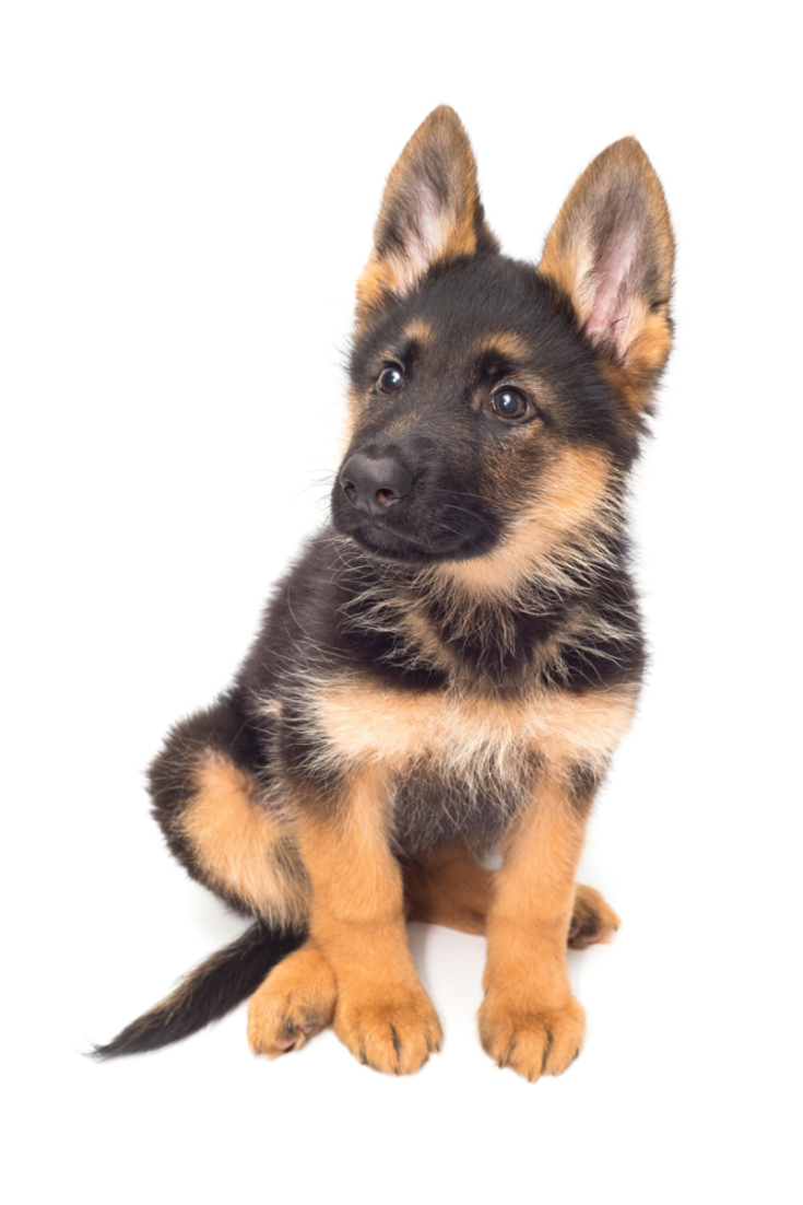 A Beautiful Puppy Is The German Shepherd Isolated On A White