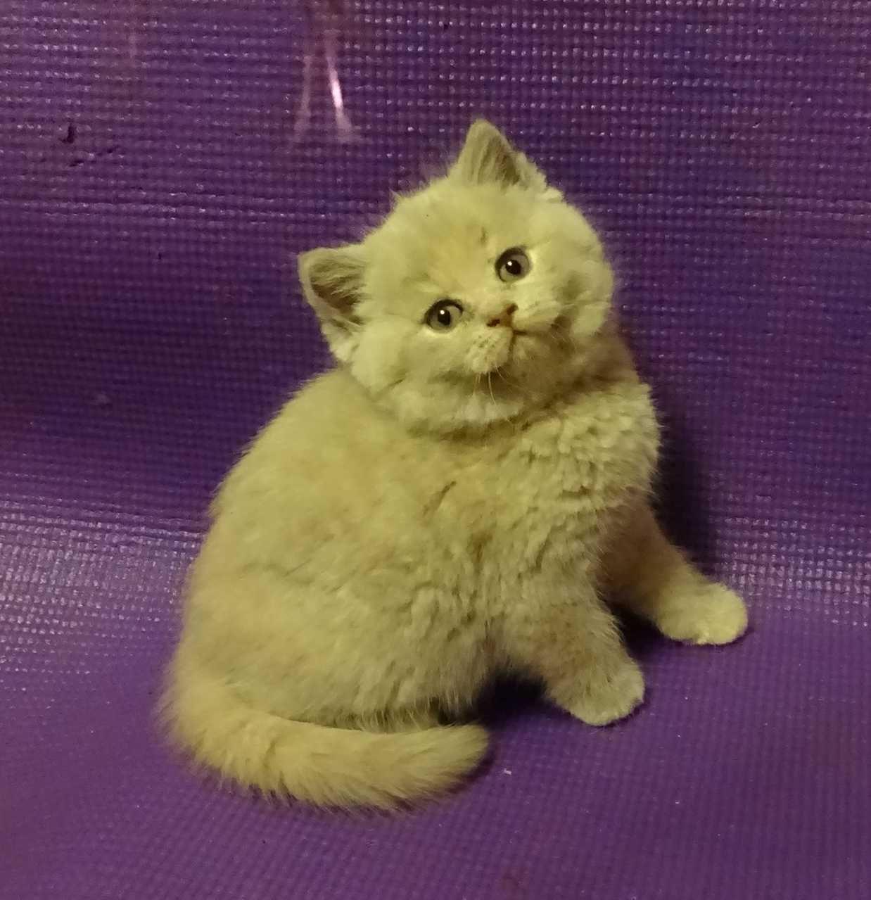Lilac cream British Shorthair kitten