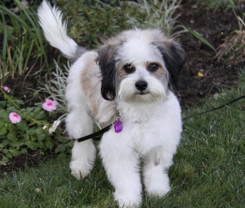Adopt Belle On Havanese Dogs Havanese Havanese Puppies