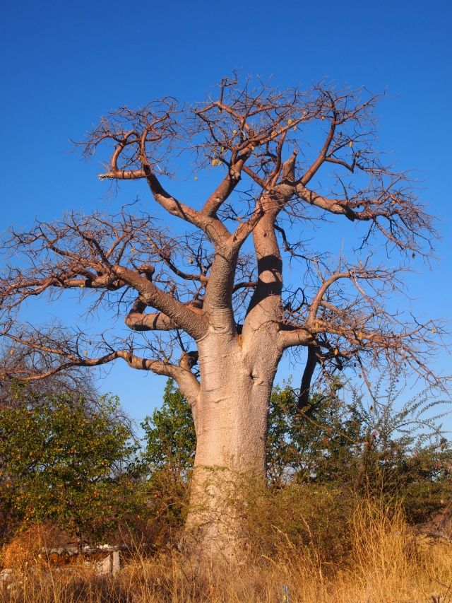 baobab trees and chobe national park botswana africa africa travel and destinations. Black Bedroom Furniture Sets. Home Design Ideas