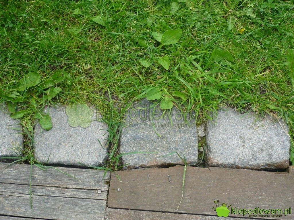 Kostka Kamienna W Roli Obrzeza Trawnika Fot Niepodlewam Herbs Sidewalk
