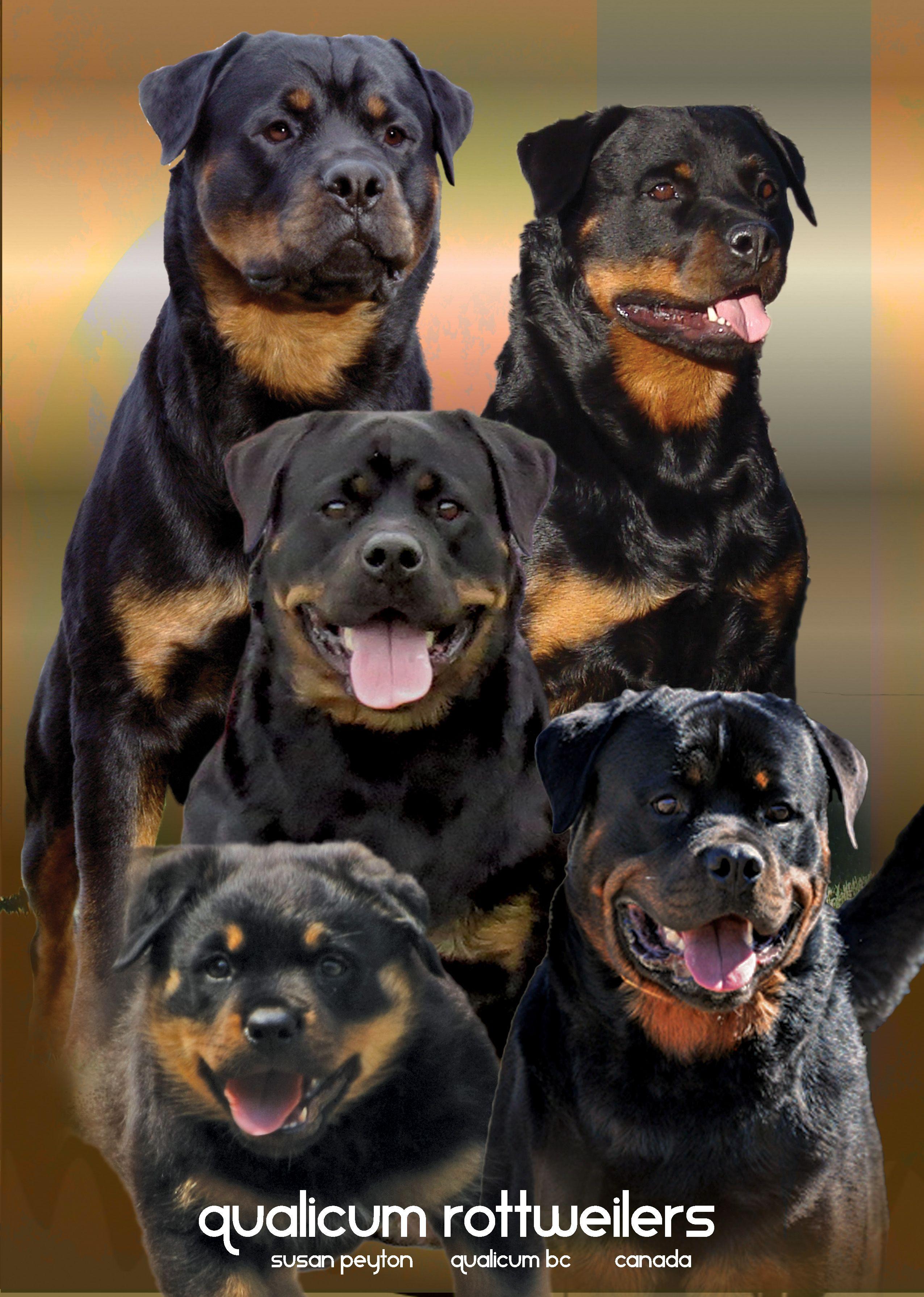 Qualicum Rottweilers Susan Peyton Qualicum Bc Canada German