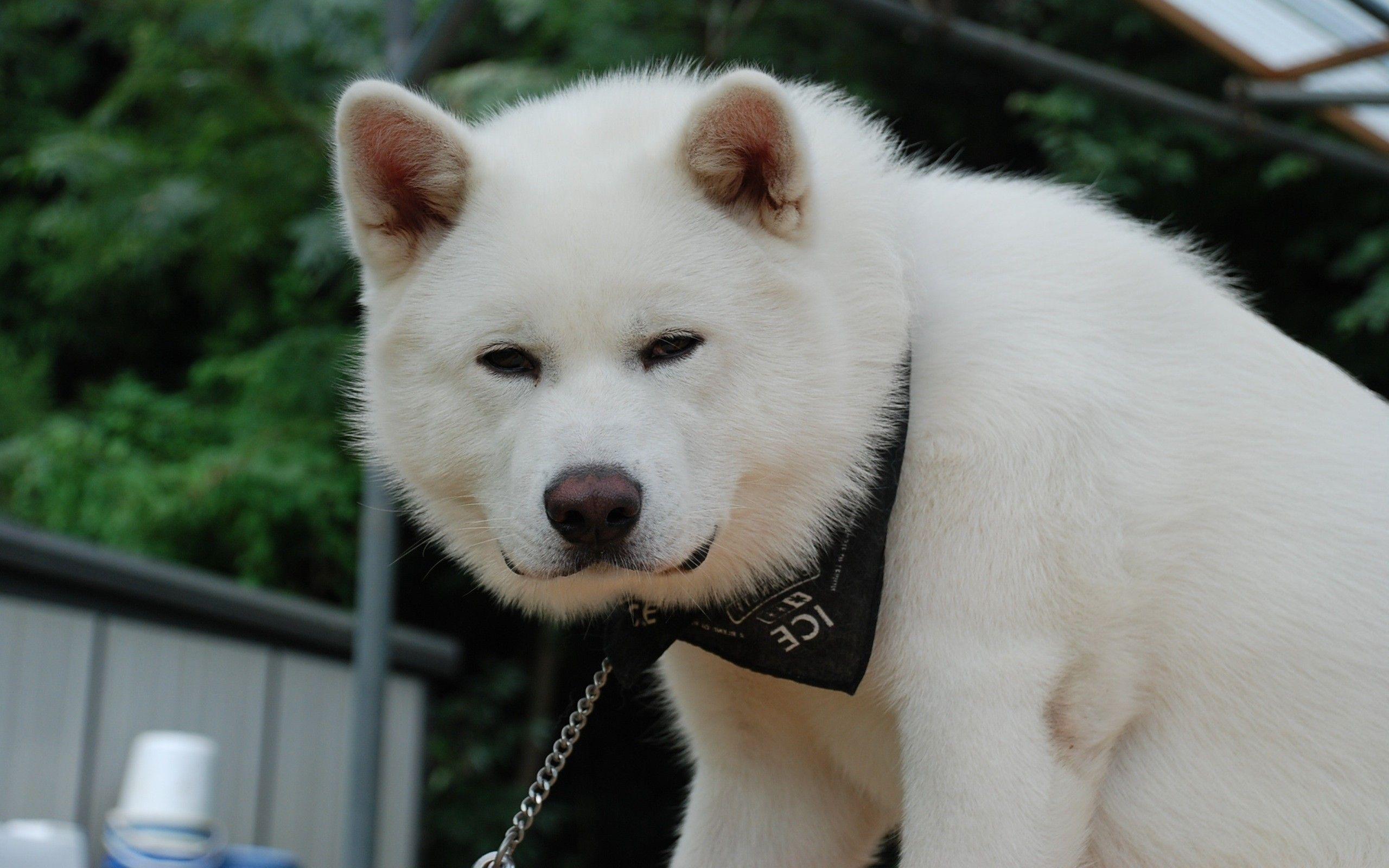 White Rock Akita Inu Wallpaper Jpg 2560 1600 Akita Puppies
