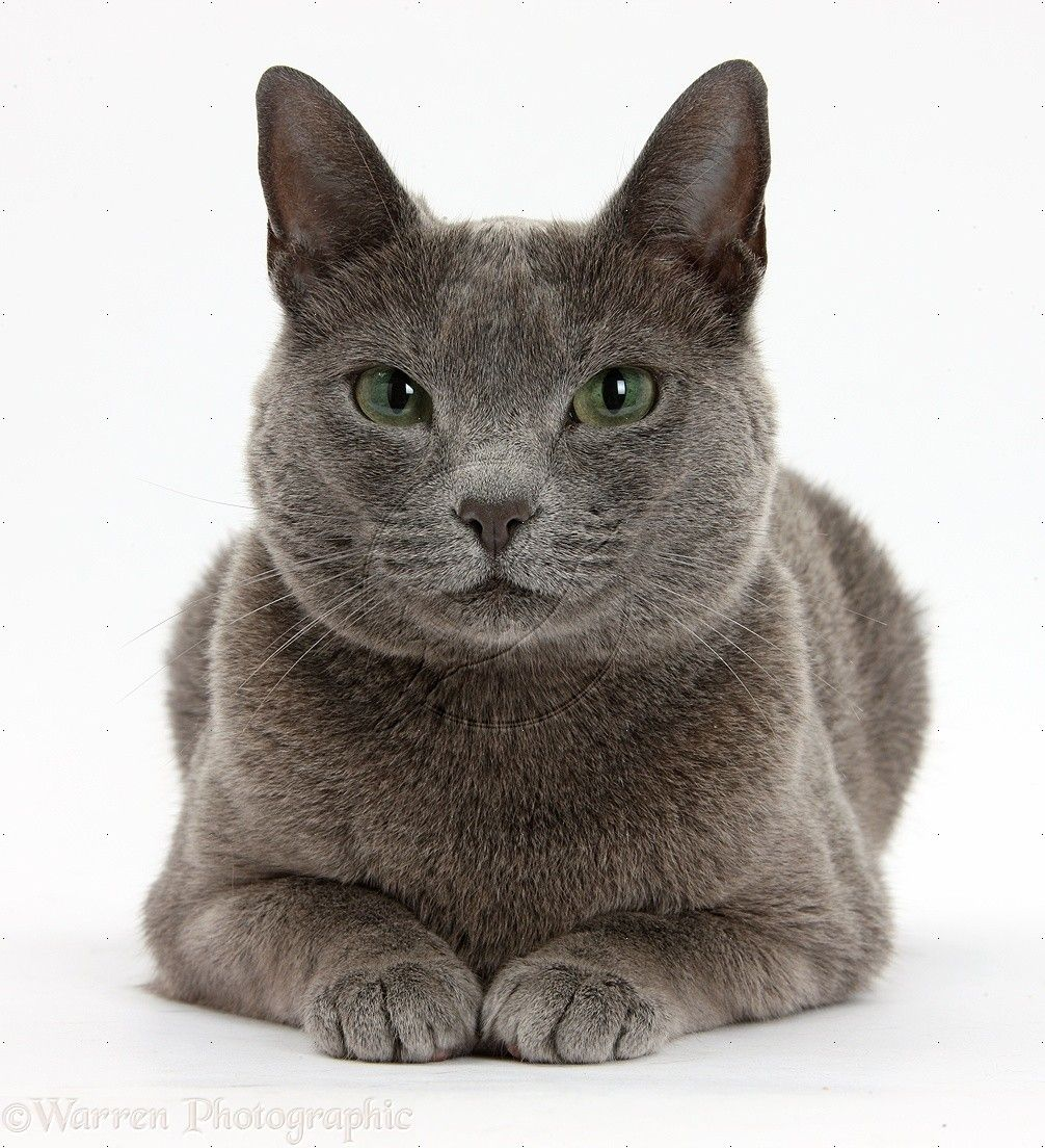 Russian Blue Female Cat With Green Eyes Photo Russian Blue