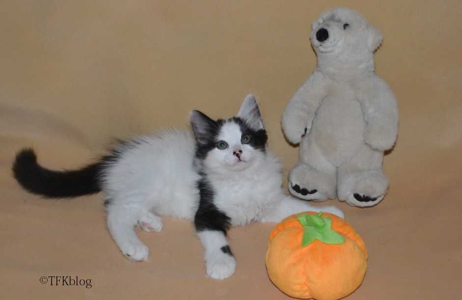~Tails from the Foster Kittens~: Polar Bears, and Pumpkins, and Kittens, Oh My