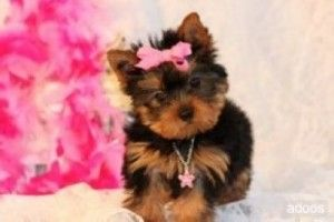 Yorkie Puppies Gladstone Mo Asnclassifieds Teacup Yorkie Puppy Yorkie Puppy For Sale Yorkie Puppy