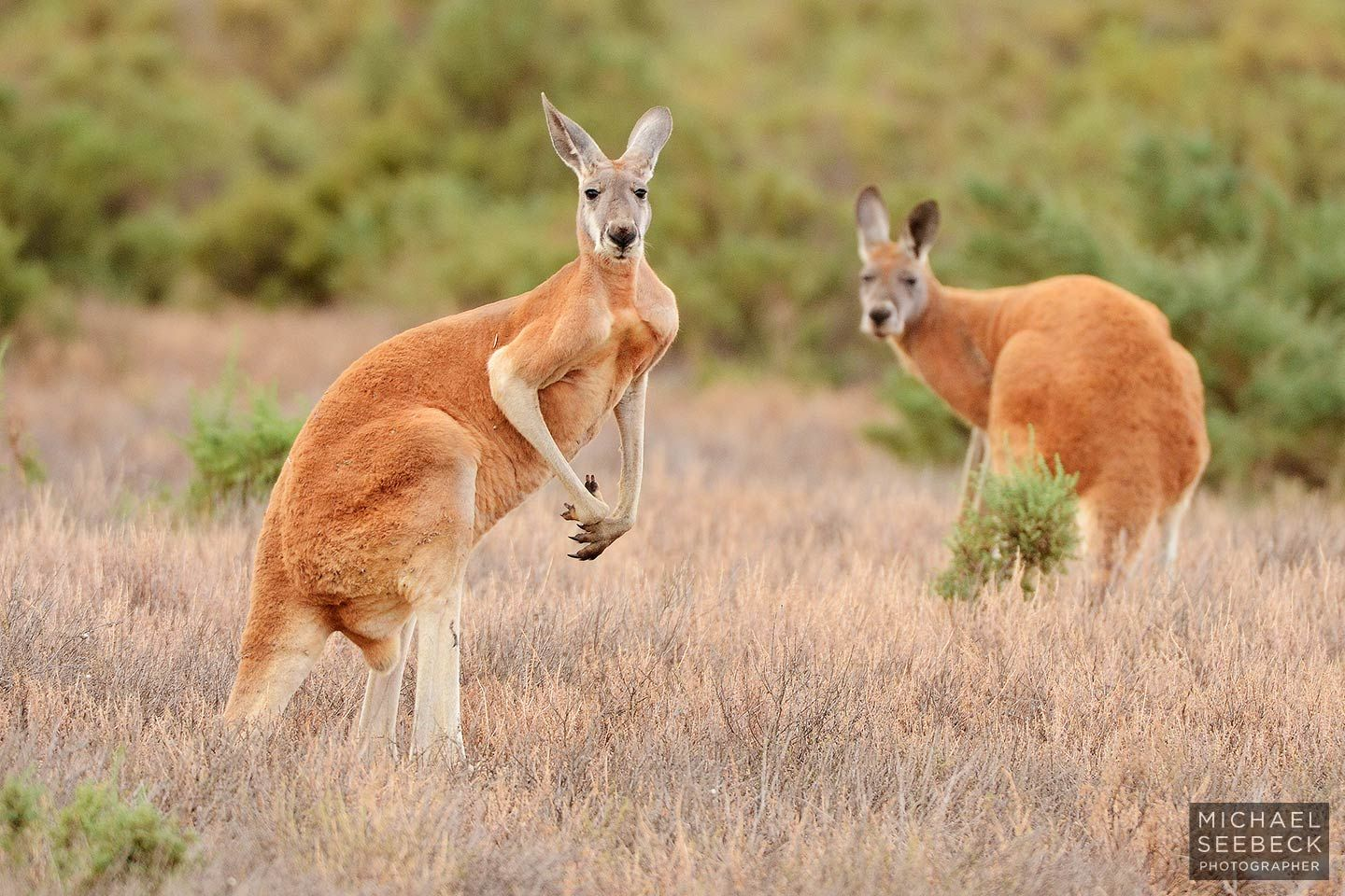 Red kangaroo two red kangaroos lasf0001 description two red kangaroos macropus god 39 s - Image kangourou ...