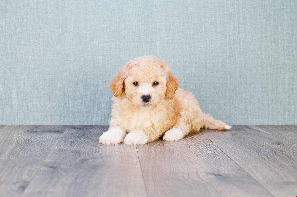F1b Mini Goldendoodle Puppy 8 Week Old Mini Goldendoodle