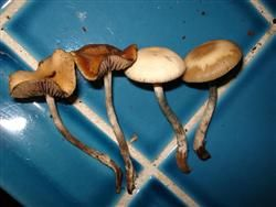 The Psilocybe cyanescens is a sister species to the