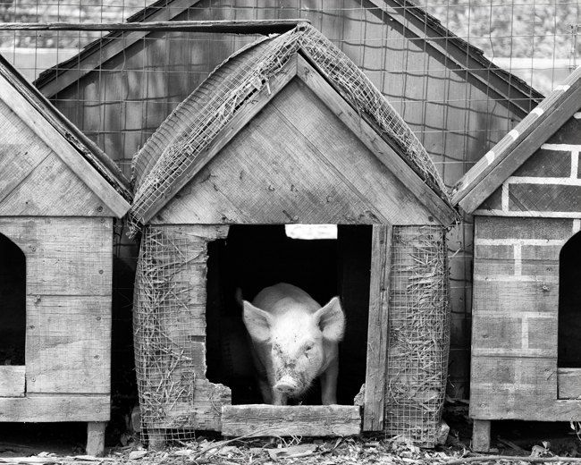 Piglet in pen photo 8x10 black and white farm animal photography print baby pig
