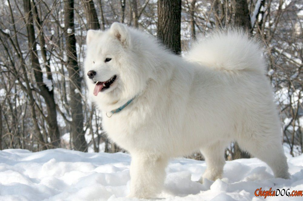 Husky Dog Lush Photos Samoyed Dogs Dog Breeds Samoyed