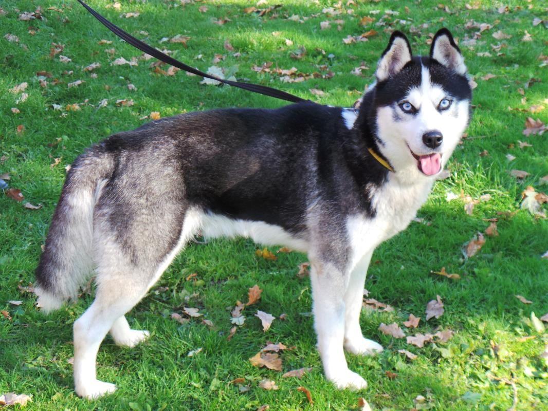 Adopt A Dog Hovis Siberian Husky Dogs Trust Dog Adoption
