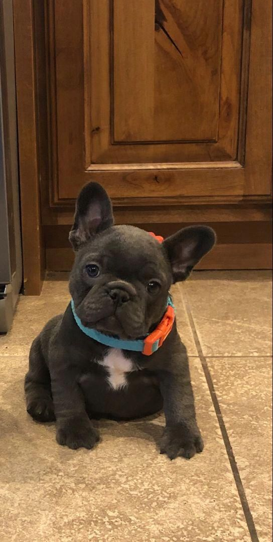 Adorable Blue French Bulldog Puppy French Bulldog Puppies