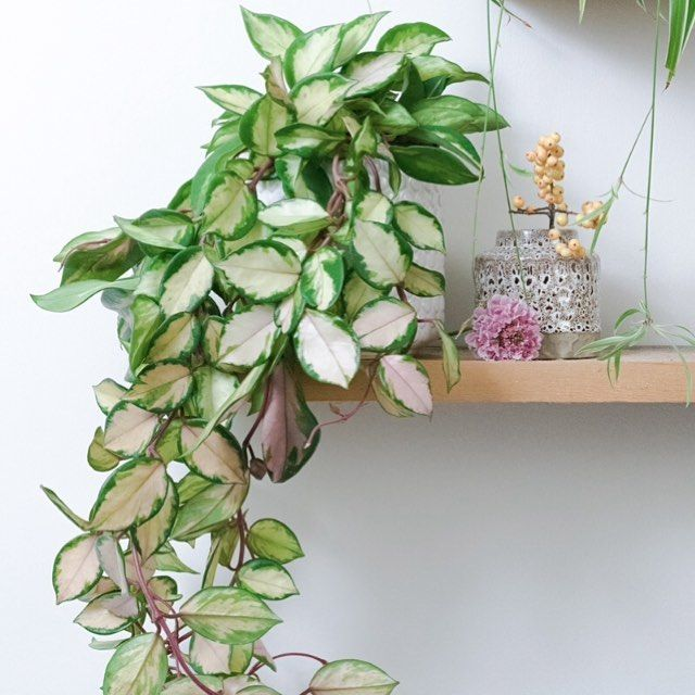 Hoya Carnosa S Tricolor Bleshyou