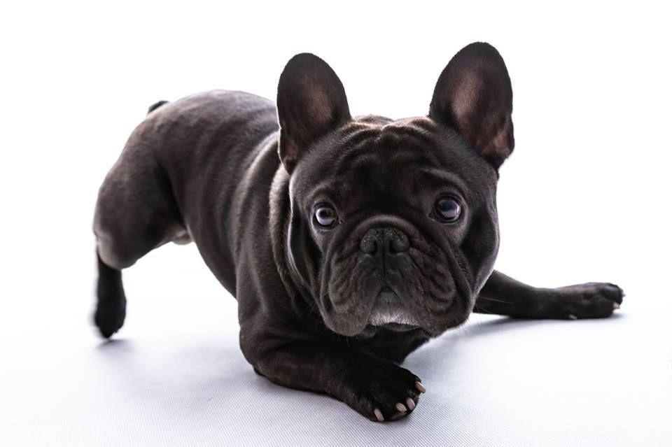 Pin Von Hinnie1 Auf Lustiges Franzosische Bulldogge Bulldogge Und Lustig