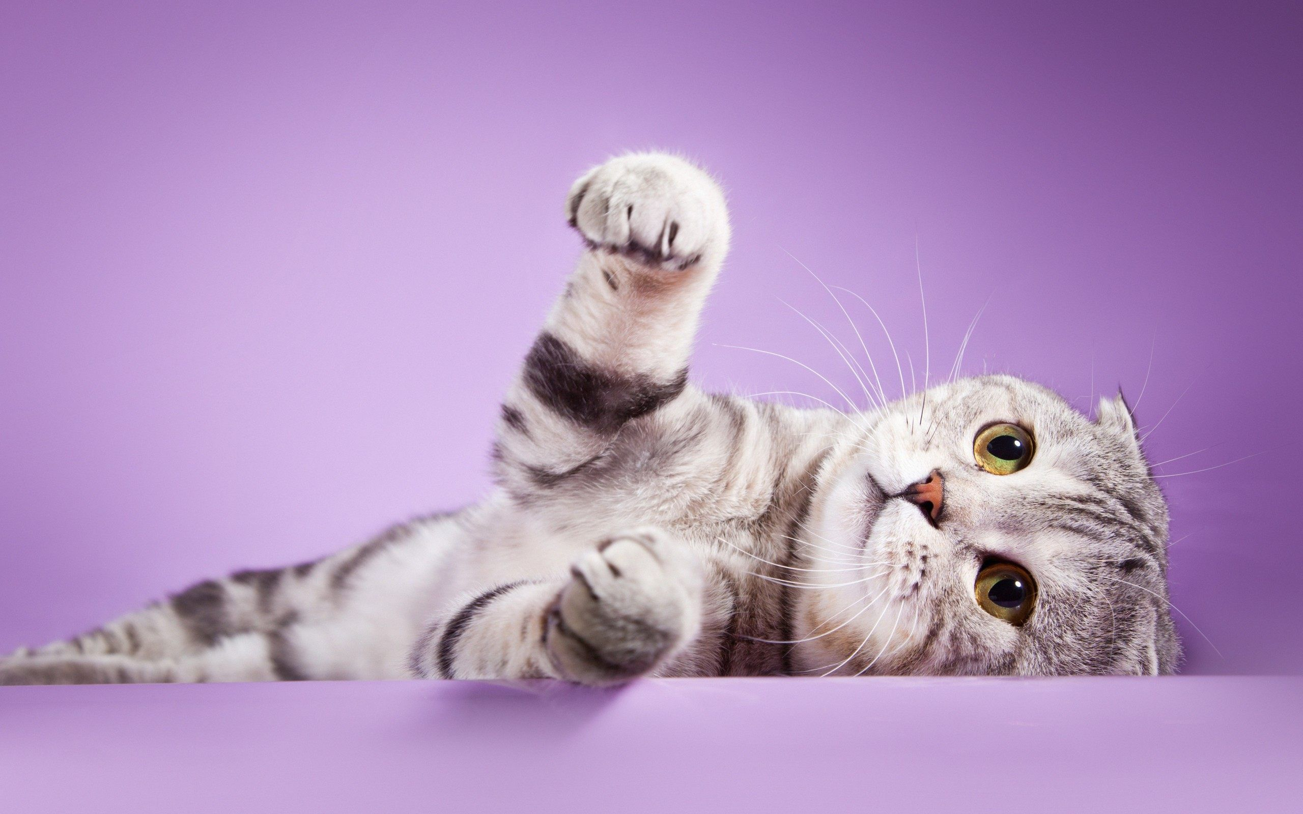 Scottish Fold Cat Wallpaper Gfxhive Cat Scottish Fold Scottish Fold Kittens Scottish Fold Cat Kittens