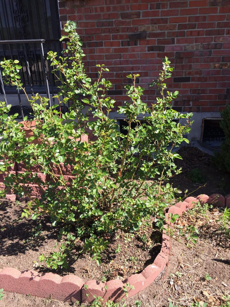 Weeds in flower beds with potato like roots - Front Yard Rose Bush Clear Debris And Weeds From Flower Bed Prune Rose