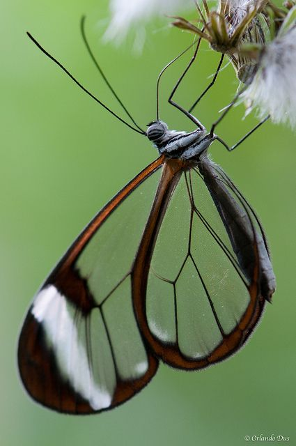 Wing pattern - why always the outer black section in dragonflies as well?