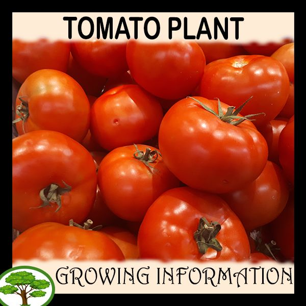 Tomato Plant How To Grow Care With Images Tomato 400 x 300